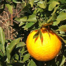 みかん「はるみ」の収穫と販売