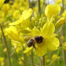 二ホンミツバチとセイヨウミツバチ