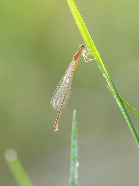 アジアイトトンボ ♀未成熟