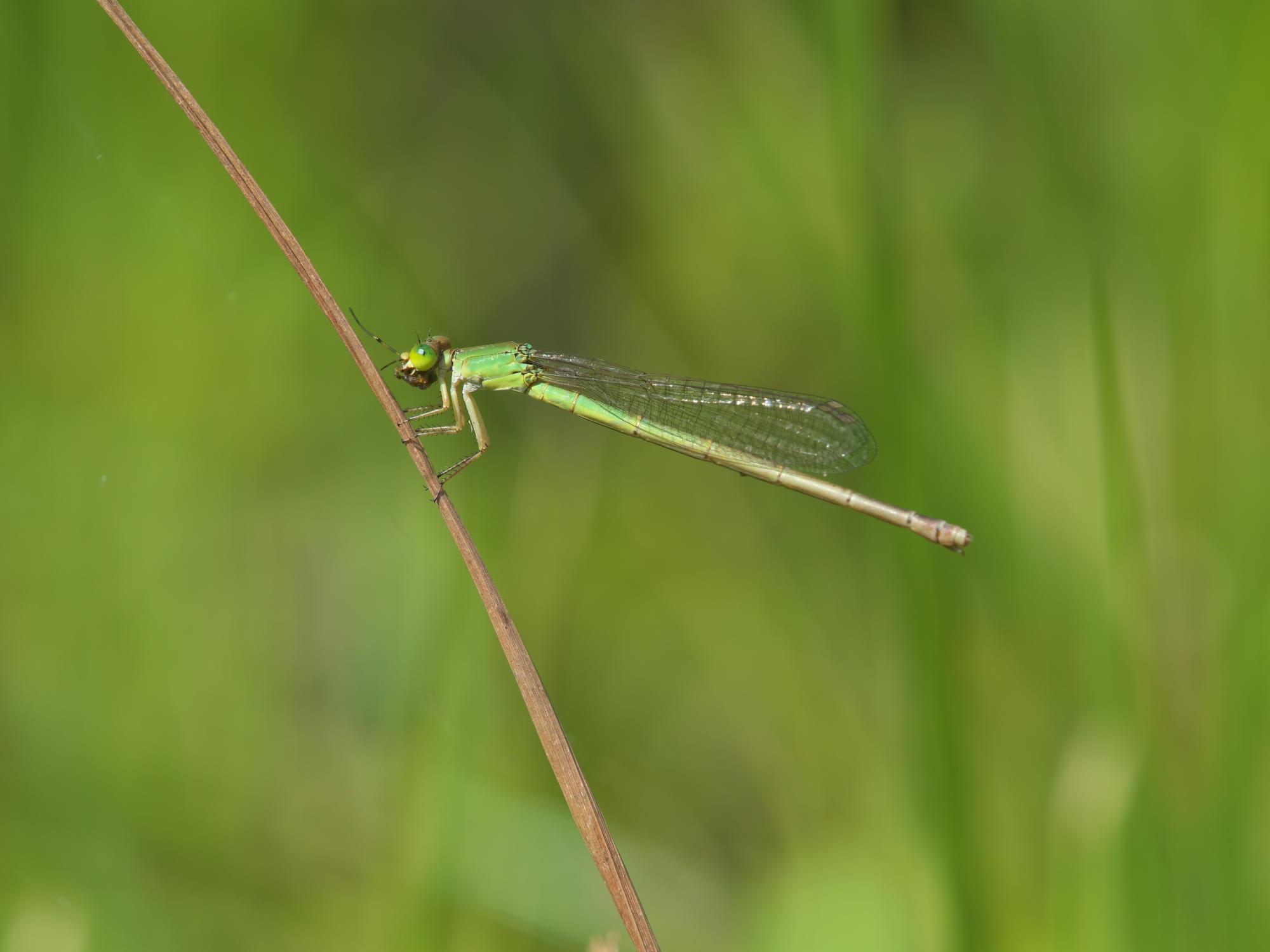 キイトトンボ♀緑色型